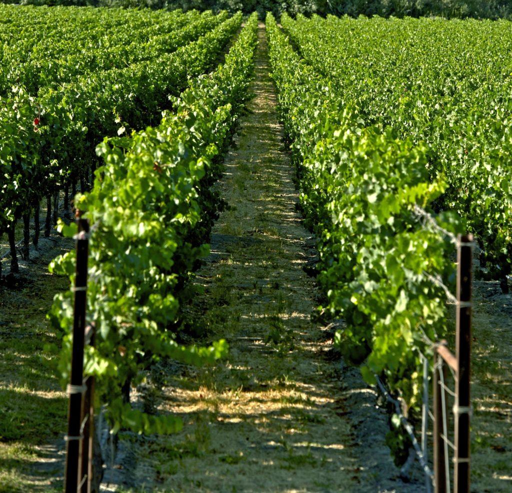 Viñedos con uvas con las que se elabora el vino del tinto de verano Sandevid