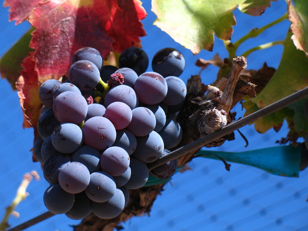 uva garnacha - tipos de uvas
