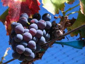 que es la vendimia - uva garnacha