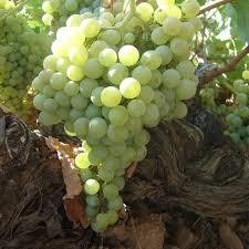 Uva airen - Tipos de uvas